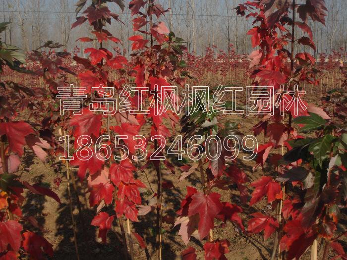 美国红枫大苗