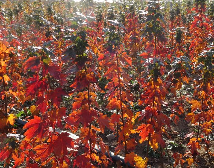 美国红枫太阳谷