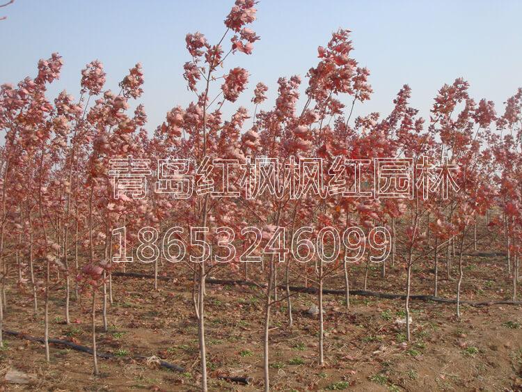 美国红枫工程苗