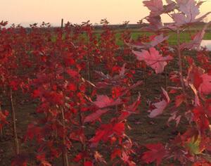 美国红枫扦插苗
