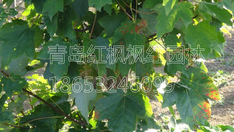 美国红枫园艺品种图片