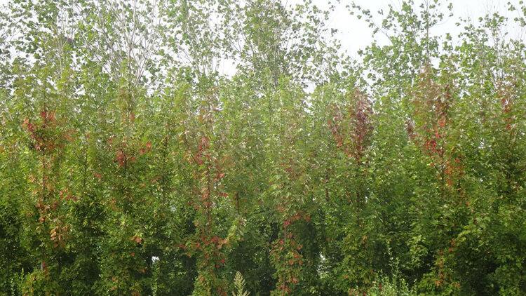 秋火焰红枫图片