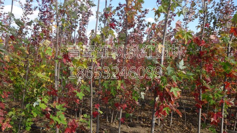 美国红枫各品种变色图片