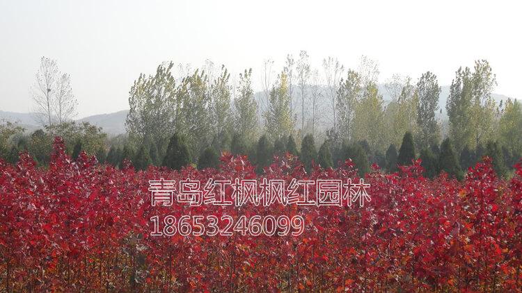 美国红枫小苗图片