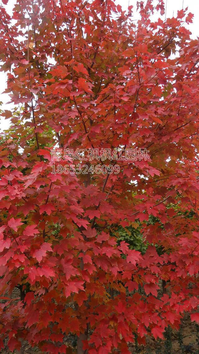 美国红枫小树