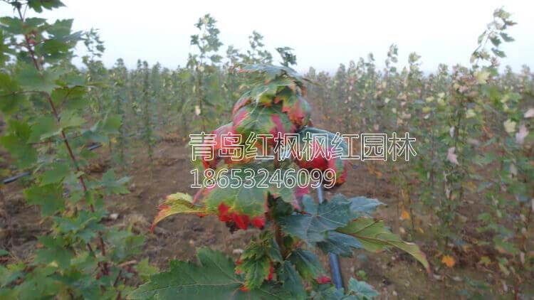 秋烈焰红枫图片