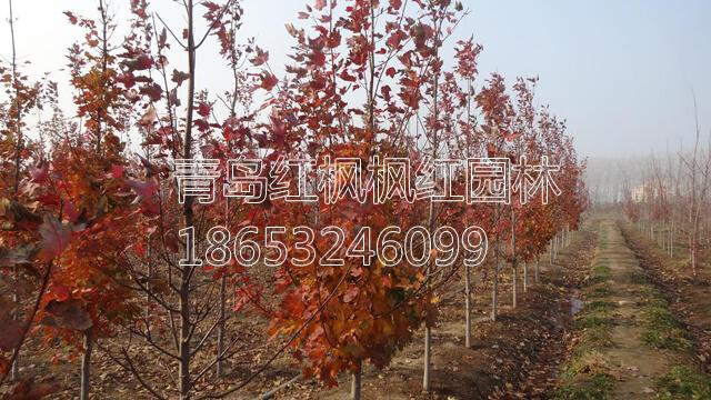 美国红枫小树变色图片