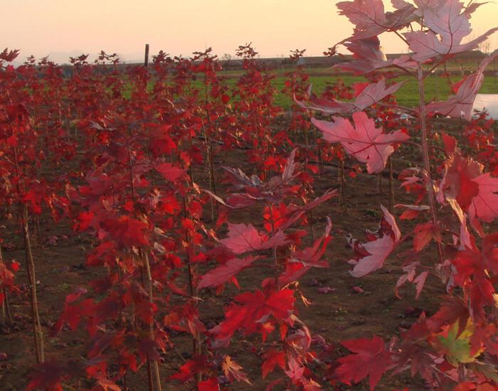美国秋红枫