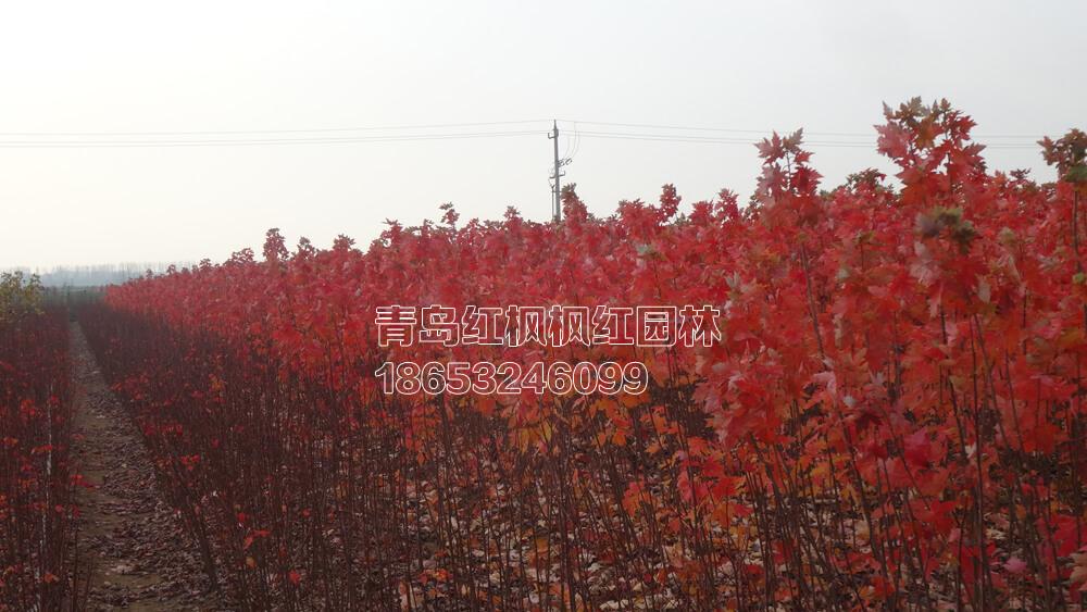 秋日梦幻红枫
