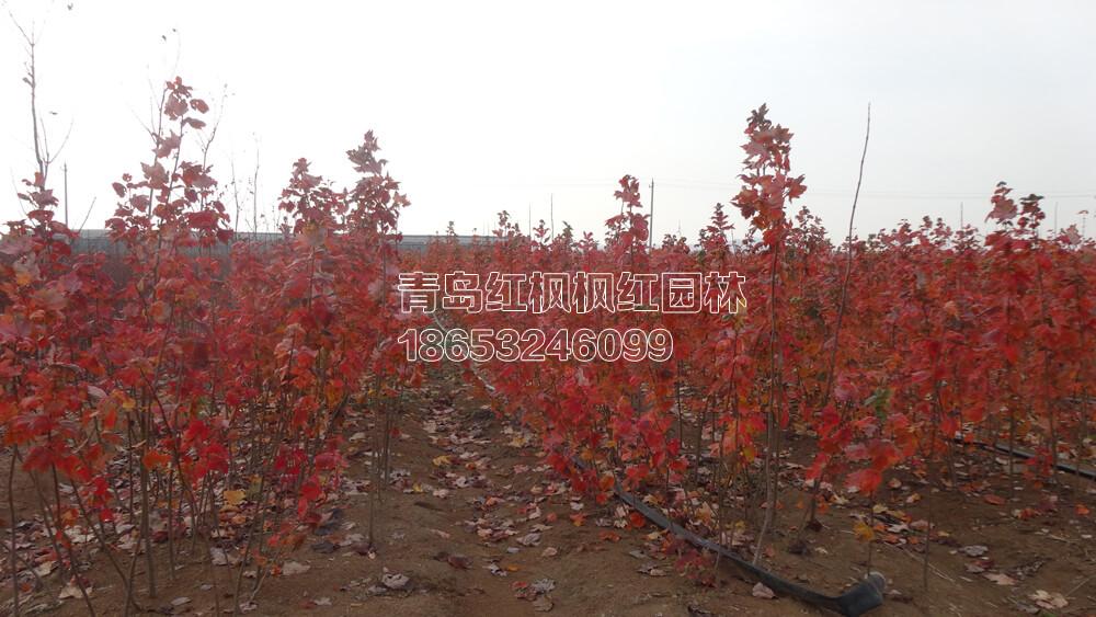 美国红枫夕阳红是美国红枫品种系列中最最独特的红槭树,它的秋天颜色不只是显示红色的树叶,还可能是深红色或者是橙色,使您可以得到一个美丽的红色,橙色组合.甚至黄色。是秋色表现最好的品种之一。在国际绿化市场上是应用量最大的乔木。 夕阳红枫树苗变色实景图片: