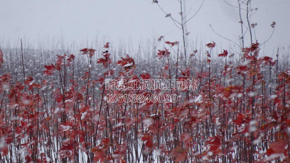 秋火焰 雪后