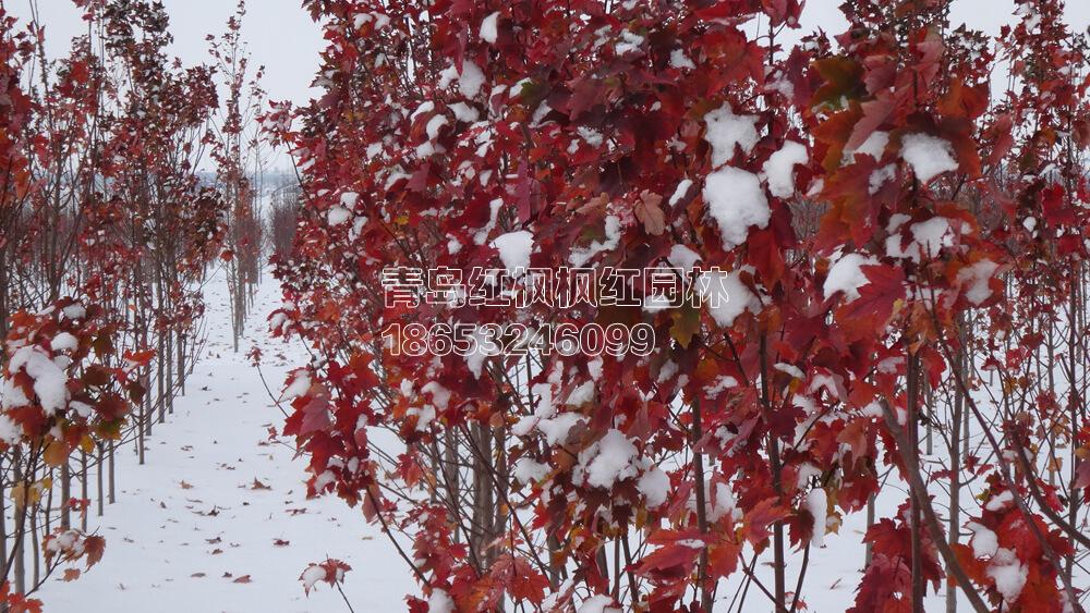 雪后十月辉煌