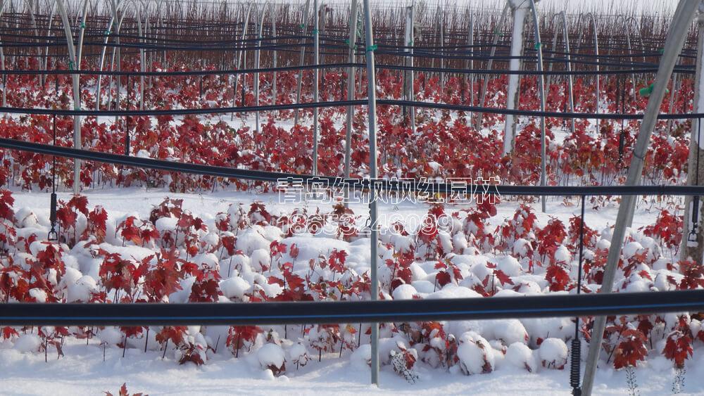 雪后夕阳红枫