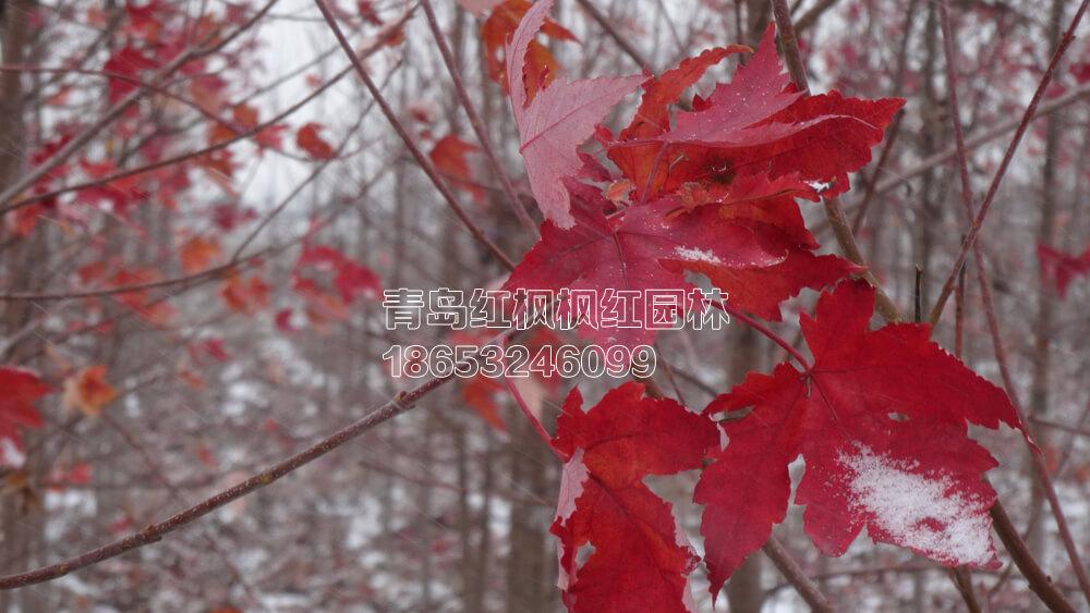 单株红枫树-美国红枫受伤叶子变色及新叶脱落问题